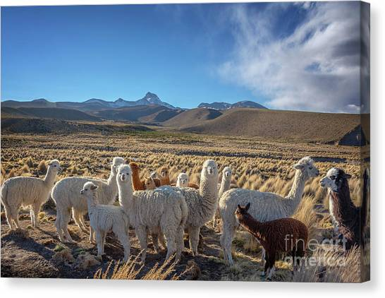 Andes Mountains Canvas Print - Herd Of Alpacas, Bolivia by Delphimages Photo Creations