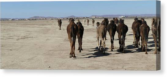 Herd Of Camels Crossing The Highway Near  Rissani Canvas Print