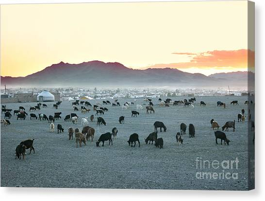 Livestock Canvas Print - Herd Of Goats In The Sunset At by Joyfull