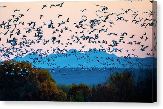 Canvas Print - Herd Of Snow Geese In Flight, Soccoro by Panoramic Images