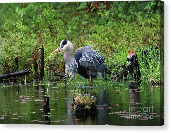 Heron In Beaver Pond Canvas Print