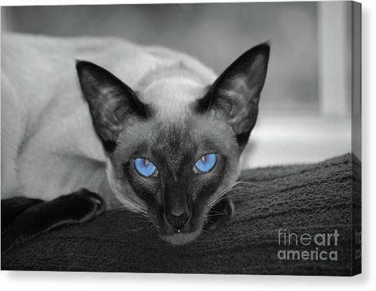 Hey There Blue Eyes - Siamese Cat Canvas Print