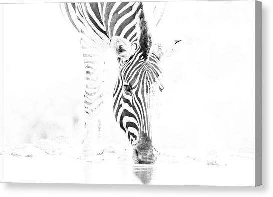 High Key Zebra Drinking Canvas Print