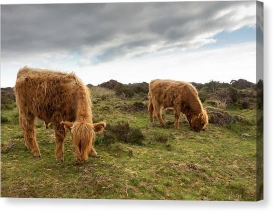 Highland Cattle Feeding At Baslow Edge Canvas Print