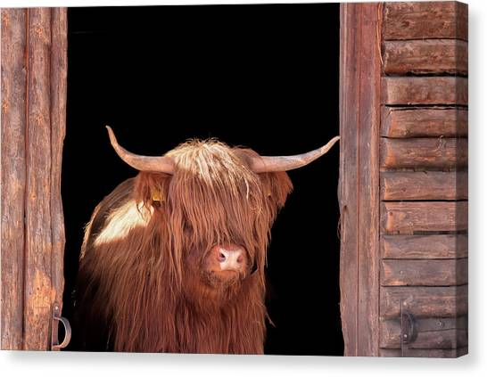 Highland Cattle In Barn Door Canvas Print by Kerrick