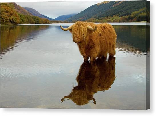 Highland Cow Canvas Print by Empato