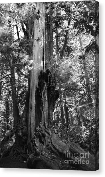 Historic Cedar Canvas Print