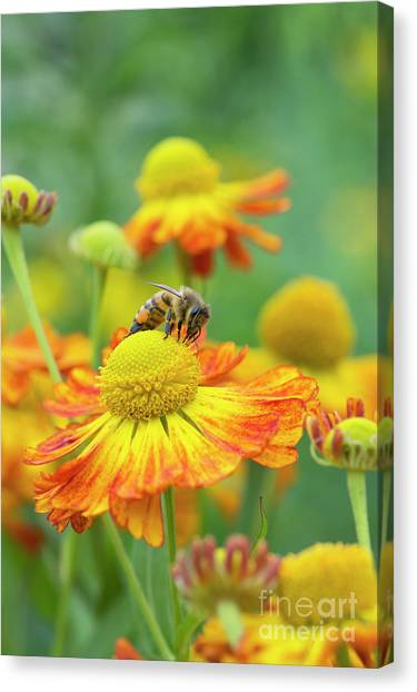 Pollinator Canvas Print - Honey Bee And Helenium by Tim Gainey