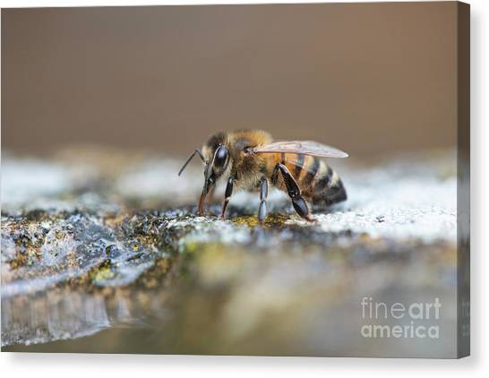 Pollinator Canvas Print - Honey Bee Drinking Water by Tim Gainey