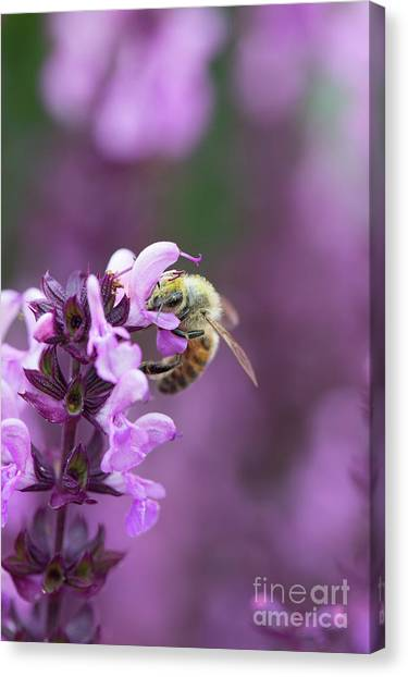 Pollinator Canvas Print - Honey Bee On Salvia Flowers by Tim Gainey