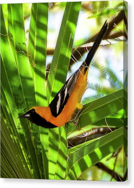 Hooded Oriole V1912 Canvas Print