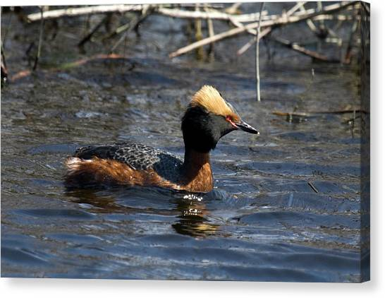Horned Grebe 102713 Canvas Print