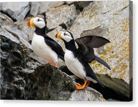 Horned Puffin Pair Canvas Print
