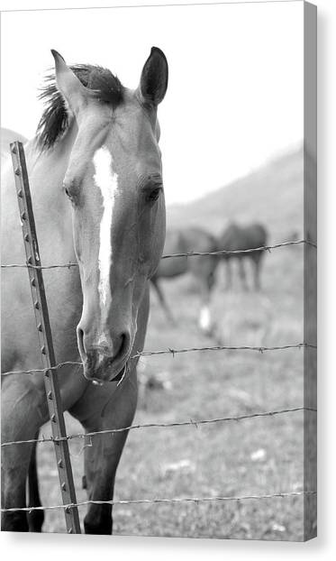 Horse Pasture  Canvas Print by Dana Klein