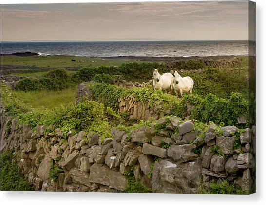 Horses Behind Rocky Fences, Inishmore Canvas Print