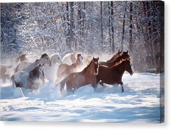 Art In America Canvas Print - Horses Equus Caballus Running In Snow by Art Wolfe