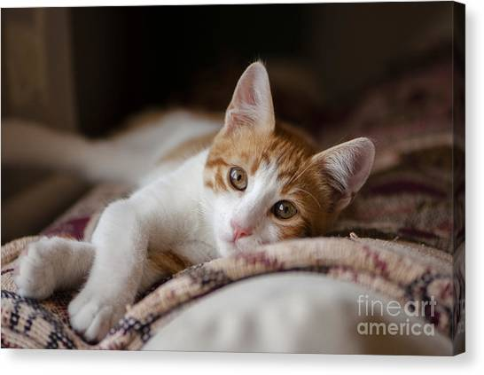 Calm Down Canvas Print - House Cat Red And White Poses For The by Cartela