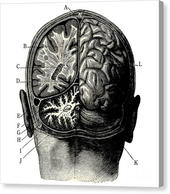 Engraving Canvas Print - Humain Brain -vintage Engraved by Lynea