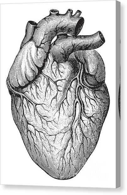 Medical Canvas Print - Human Heart  Vintage Illustrations From by Hein Nouwens