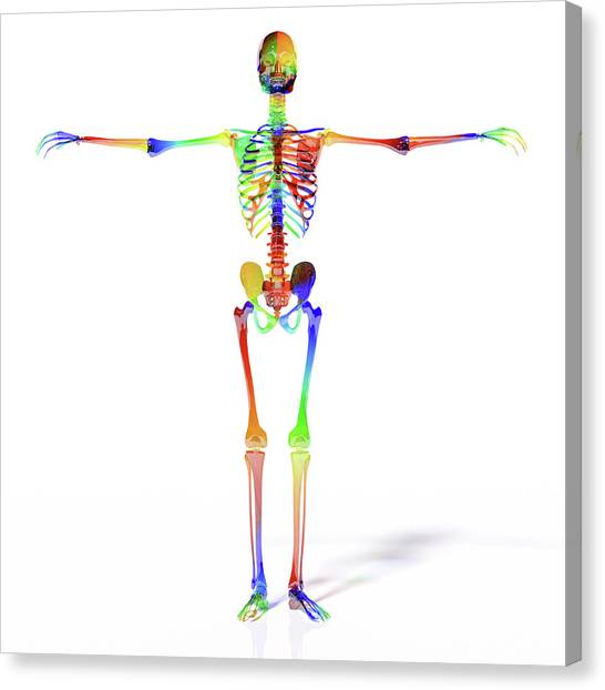 Reference Canvas Print - Human Skeleton Model by Betsy Knapp