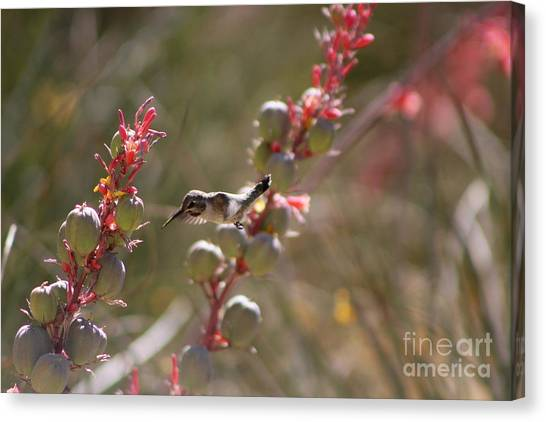 Hummingbird Flying To Red Yucca 1 In 3 Canvas Print