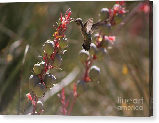 Hummingbird Flying To Red Yucca 3 In 3 Canvas Print