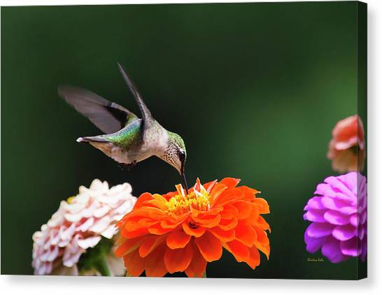 Canvas Print featuring the photograph Hummingbird In Flight With Orange Zinnia Flower by Christina Rollo