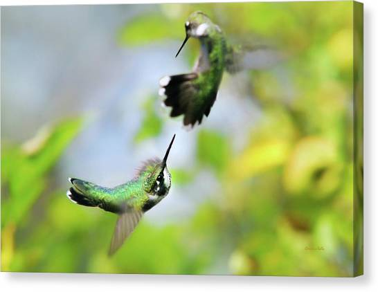 Hummingbirds Ensuing Battle Canvas Print