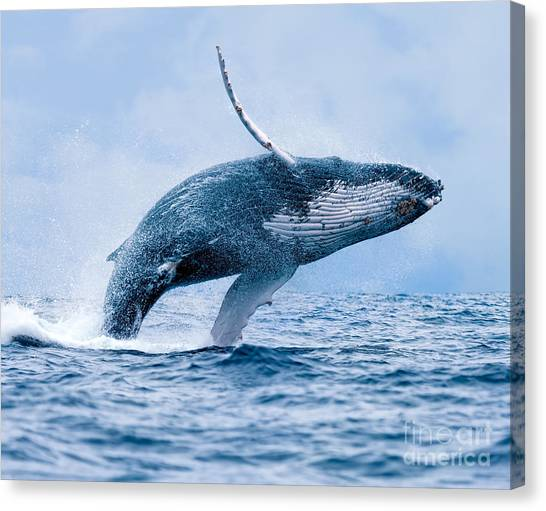 Humpback Whale Megaptera Novaeangliae Canvas Print by Paul S. Wolf