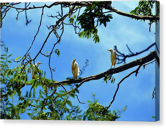 Ibis Perch Canvas Print