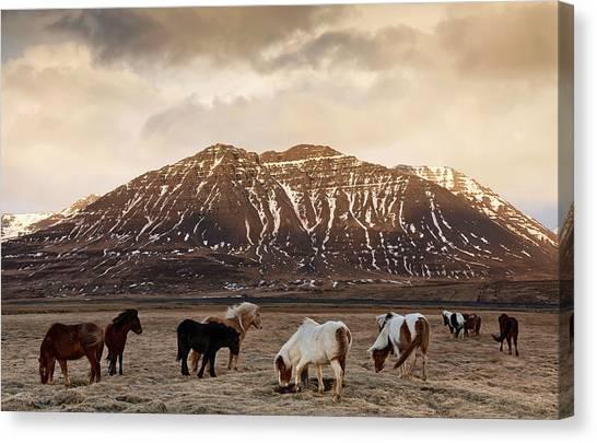 Icelandic Horses In Dramatic Landscape Canvas Print by Daniel Bosma