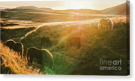 Icelandic Landscapes, Sunset In A Meadow With Horses Grazing  Ba Canvas Print