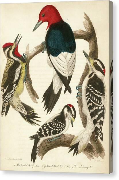 1. Red-headed Woodpecker. 2. Yellow-bellied Woodpecker. 3. Hairy Woodpecker. 4. Downy Woodpecker. Canvas Print