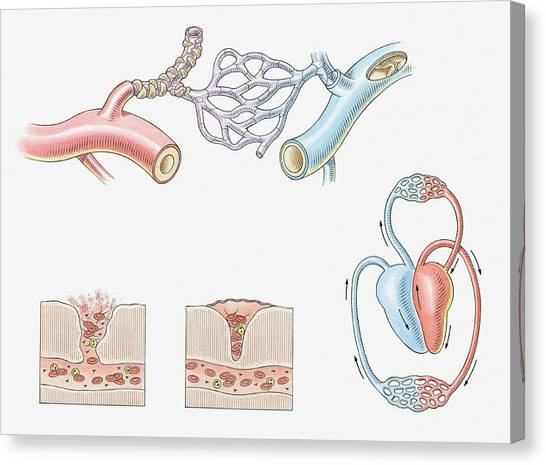 Illustration Of Blood Vessels, Artery Canvas Print by Dorling Kindersley