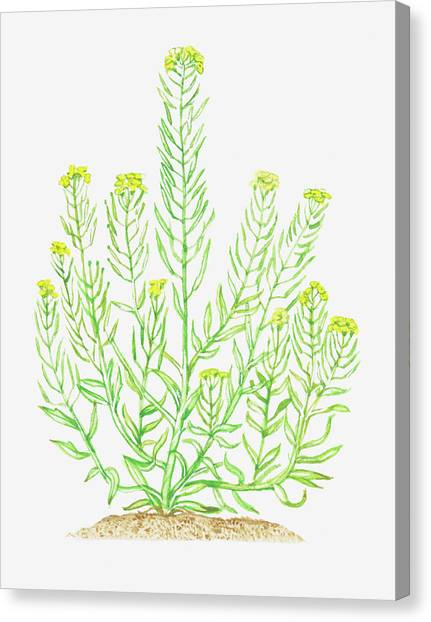 Illustration Of Erysimum Cheiranthoides Canvas Print by Dorling Kindersley