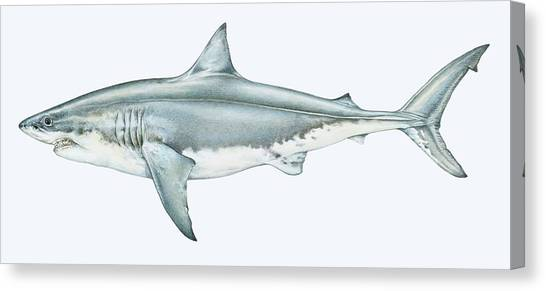 Illustration Of Great White Shark Canvas Print by Dorling Kindersley