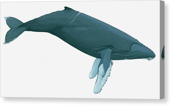 Illustration Of Humpback Whale Canvas Print by Dorling Kindersley