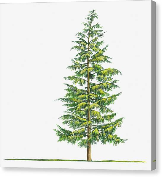 Illustration Of Large Evergreen Tsuga Canvas Print by Sue Oldfield