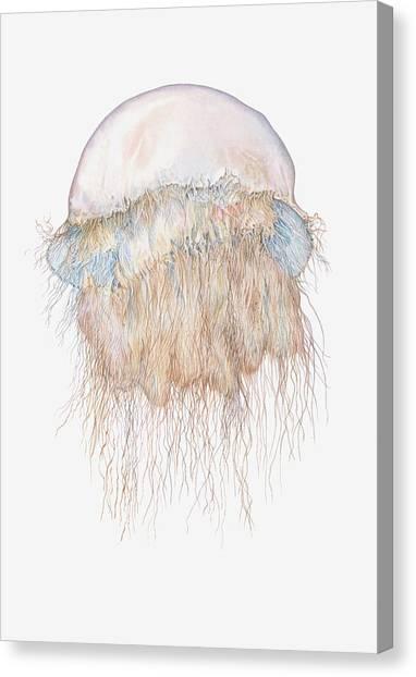 Illustration Of Nomuras Jellyfish Canvas Print by Dorling Kindersley