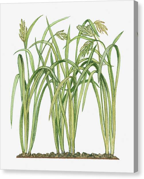 Illustration Of Oryza Sativa Asian Rice Canvas Print by Michelle Ross