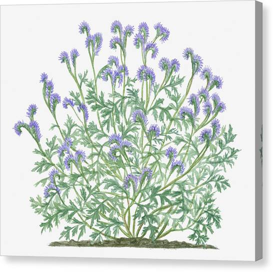 Illustration Of Phacelia Tanacetifolia Canvas Print by Valerie Price