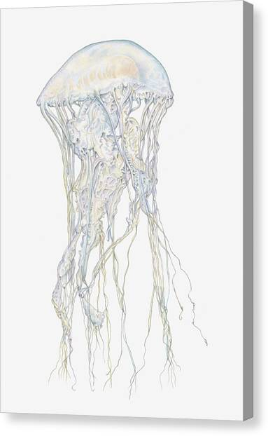 Illustration Of Sand Jellyfish Canvas Print by Dorling Kindersley