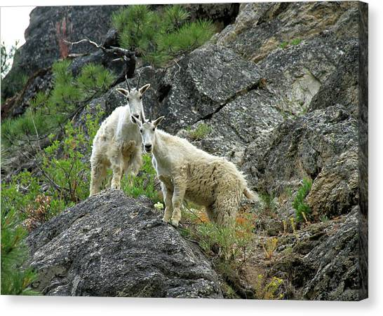 Idaho Mountain Goats Canvas Print