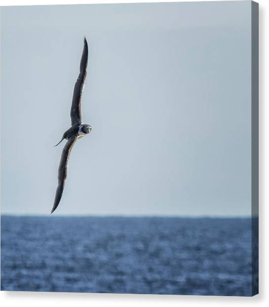 Canvas Print featuring the photograph Immature Masked Booby, No. 5 Sq by Belinda Greb