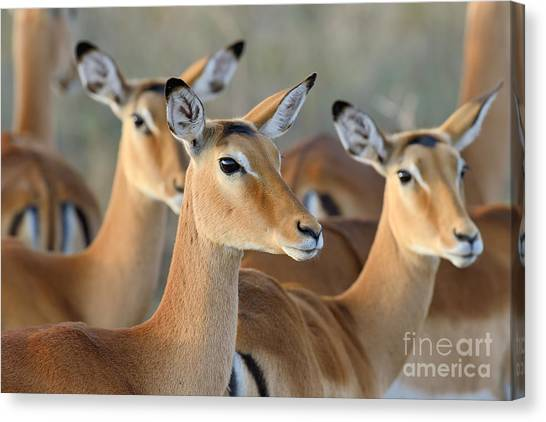 Southern Africa Canvas Print - Impala On Savanna In National Park Of by Volodymyr Burdiak