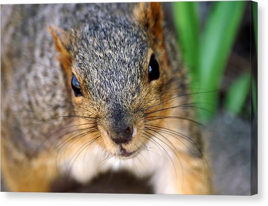In Your Face Fox Squirrel Canvas Print