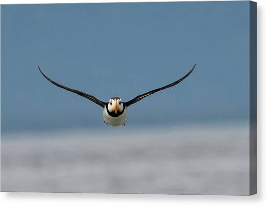 Incoming Puffin Canvas Print