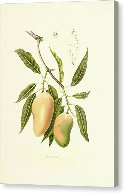Indian Mango | Antique Plant Canvas Print by Nicoolay