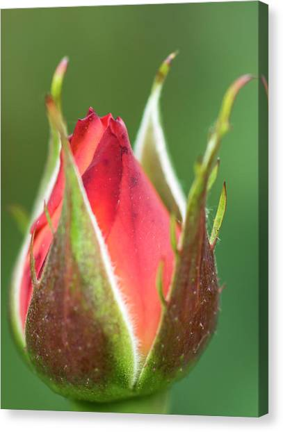 International Rose Test Garden Canvas Print by William Sutton