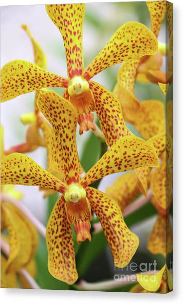 Intriguing Yellow Spider Orchids Canvas Print